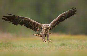 Fototapeta Ptaki White tailed eagle (Haliaeetus albicilla) fighting in autumn scenery