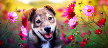 Charming Brown Puppy Sits Among Pink Daisies Flowers In The Sunny Summer Garden
