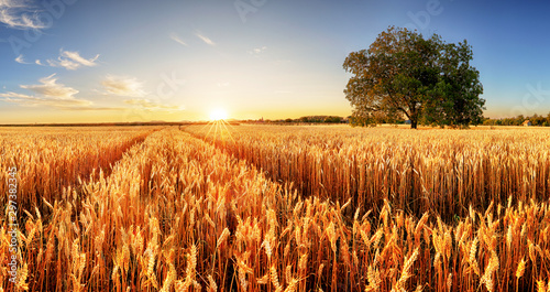 Fotomural  Wheat field at sunset with tree and way