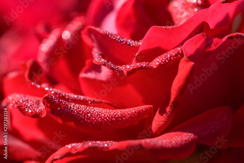 Valokuva  droplets on red rose