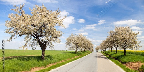 Fototapeta road and alley of flowering cherry trees obraz