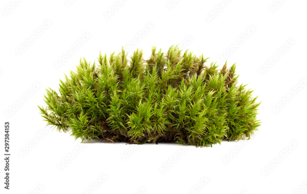 Fototapety, obrazy: green moss sphagnum closeup isolated