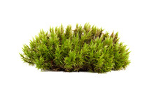 Green Moss Sphagnum Closeup Is...