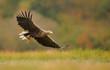White tailed eagle (Haliaeetus albicilla) in autumn scenery