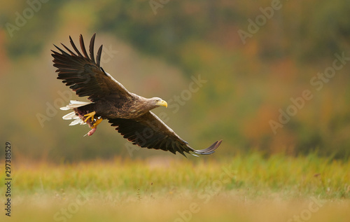 Photo sur Aluminium Aigle White tailed eagle (Haliaeetus albicilla) in autumn scenery