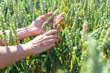 Green Rye Is Ripening, Farmer Hand In Sunset