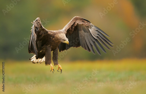 Fotografia White tailed eagle (Haliaeetus albicilla) in autumn scenery