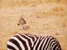 Baby Zebra Sitting On Ground