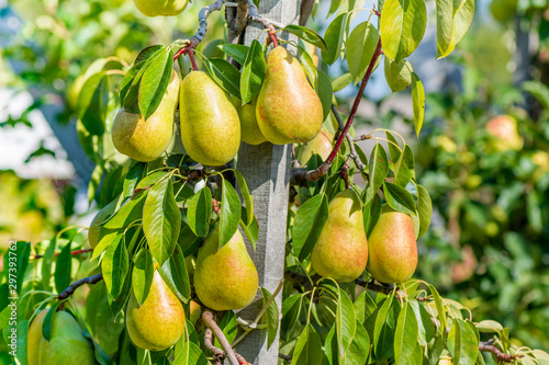 pear tree with ripe yellow fruits in the fall in the sun Fototapeta