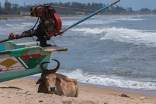 Brown Cow Laying Down Under A Green Fishing Boat Looking For Some Shade On A Beach In Mamallapuram, India, September 2019