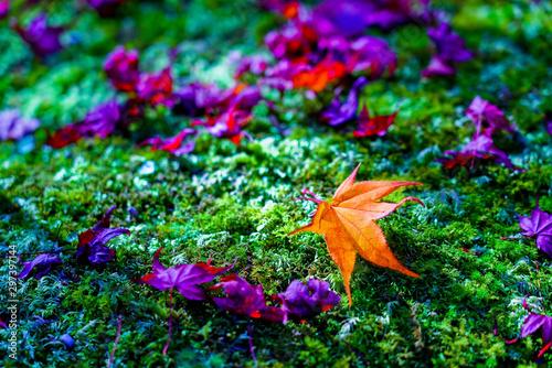 Foto op Plexiglas Groene Maple leaves in autumn in Japan.