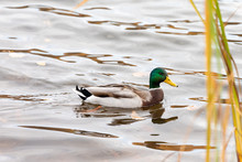 Duck Swim In The Pond
