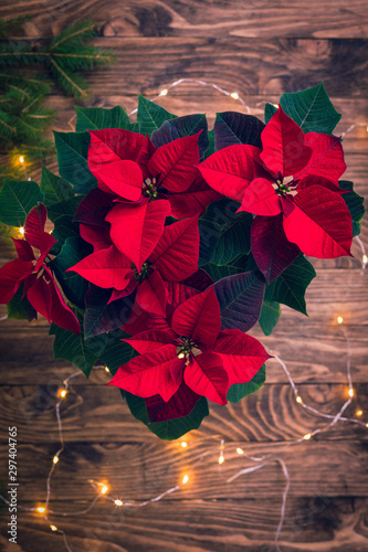 Obraz Christmas Red Poinsettia potted in wooden vintage rustic background - fototapety do salonu