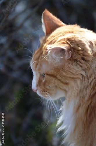 Fototapety, obrazy: side portrait of cat