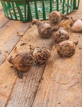 Leucojum Aestivum, или Summer Snowflake Or Loddon Lily On A Table.