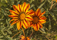 Blooming Gazania Rigens Or Gaz...