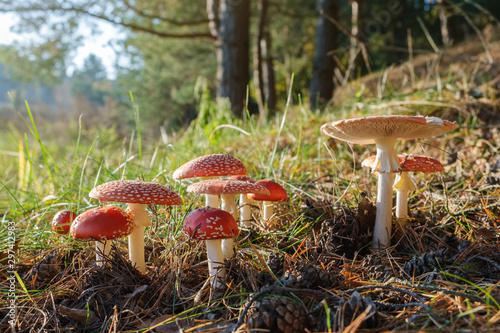 Group of red fly agaric mushrooms in the autumn forest Wallpaper Mural
