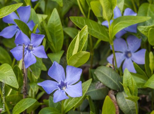 Photo Flowering periwinkle in spring