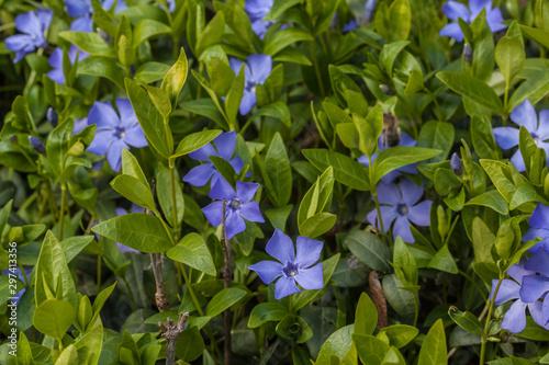 Obraz na plátně Flowering periwinkle in spring