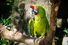 Detail Of A Green Macaw Parrot...