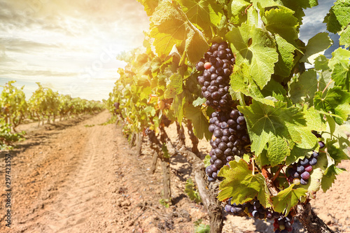 Obraz Sunset over vineyards with red wine grapes near a winery in late summer - fototapety do salonu