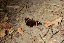 Red Admiral (Vanessa Atalanta) - Forest In Autumn