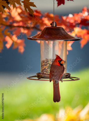 Cardinal bird on a bird feeder Fototapet