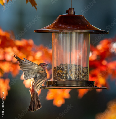 Tablou Canvas Cardinal bird on a bird feeder