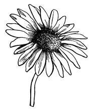 Florets, Steraceae, Flower, Ra...