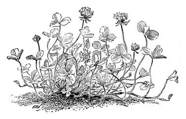 Trifolium Repens vintage il...