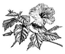 Flowering Branch Of Hibiscus Rosa-Sinensis Vintage Illustration.