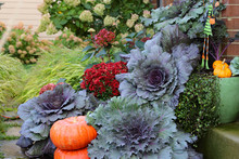 Bluish Purple Ornamental Cabbages And Late Season Red Mums Brighten Up The Front Door