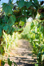 Path In Corn Maze With Arch Of...
