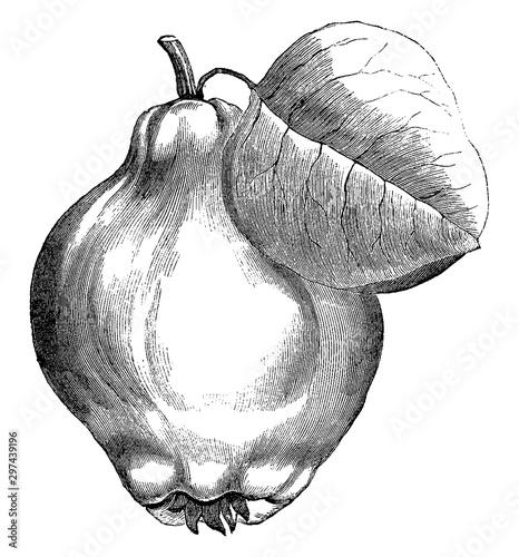 Tableau sur Toile Portugal Quince Pear vintage illustration.