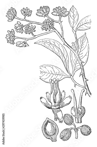 Valokuvatapetti Picture, Toddalia, floribunda, flower, Fruits, pair, carpels, ovule vintage illustration