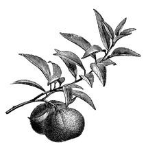 Fruiting Branch Of Mandarin Orange Vintage Illustration.