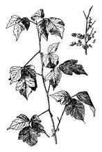 Poison Ivy Vintage Illustration.