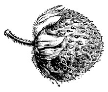 Fruit Of Fragaria Chilensis Grandiflora Vintage Illustration.