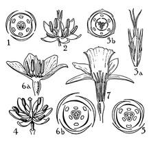 Pontederiaceae, Juncaceae, Lil...