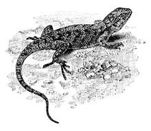 Eastern Fence Lizard, Vintage Illustration.