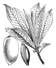 Mamey Sapote Branch & Fruit Vintage Illustration.