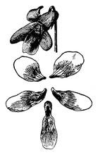 Herb, Herbaceous, Plant, Papil...
