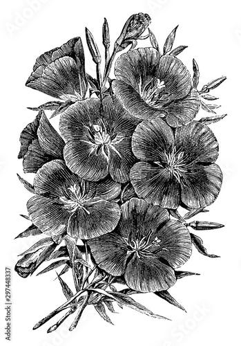 Oenothera Lady Albemarle vintage illustration. Wallpaper Mural