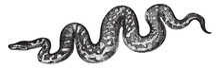 Boa Constrictor, Vintage Illustration.