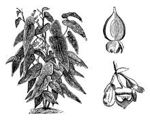 Habit, Capsule, And Flower Of Begonia Maculata Vintage Illustration.