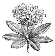 Asperula Odorata Vintage Illustration.