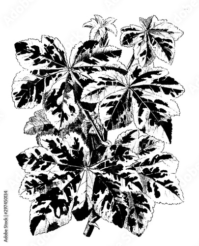 Photo flower, Lavatera, Arborea, flowers, leaves vintage illustration.
