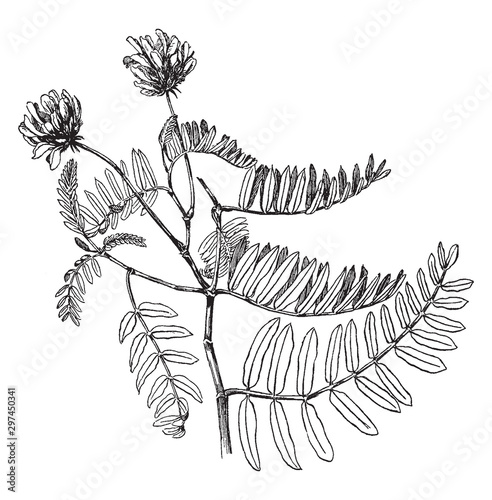 Photo Astragalus Adsurgens vintage illustration.