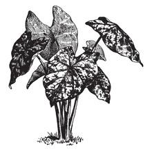 Caladium Humboldtii Vintage Illustration.