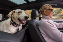 Blond Woman Driving White Lab Mix Dog, Inside Car With Dog Seat Cover, Fall Road Trip
